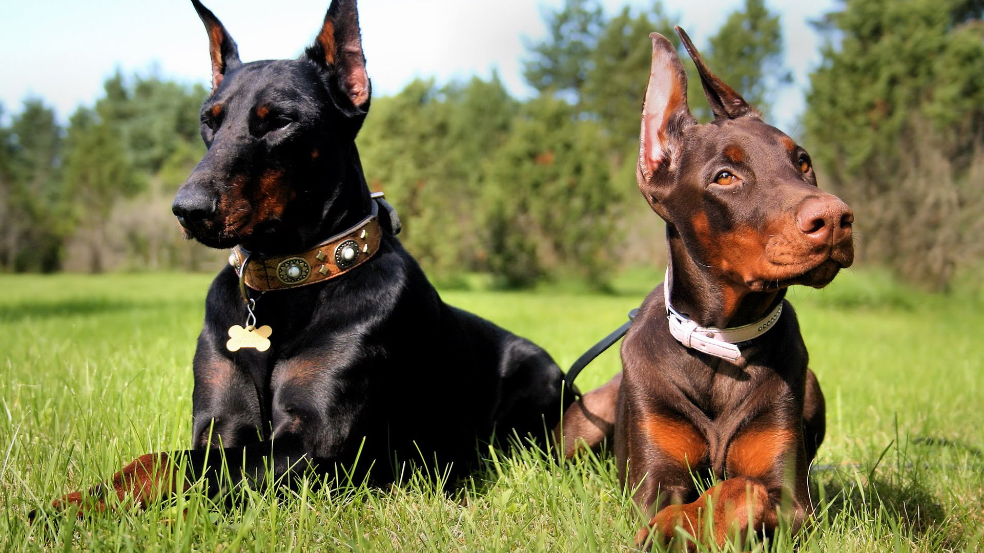 12 most dangerous and aggressive dog breeds in the world for Pinscher temperamento