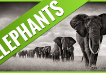 top 10 endangered facts about elephants