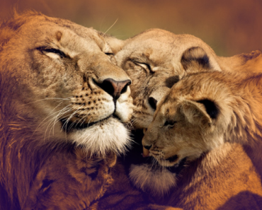 Top 10 Interesting Facts about Lions